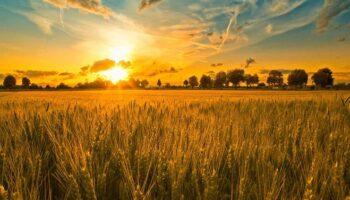 Україна експортувала на 50% більше олійних культур