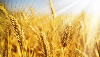 Названо ТОП-5 областей України з найвищою ціною на зерно