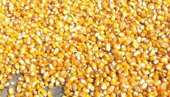 «Астарта» планирует увеличить посевы кукурузы и подсолнечника