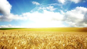 Цены на пшеницу падают под давлением низкого спроса