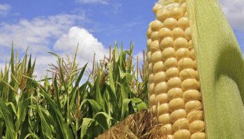 Эксперты прогнозируют снижение урожая кукурузы