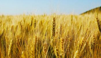 Середня врожайність зернових у цьму році на 10 відсотків вища, ніж торіч