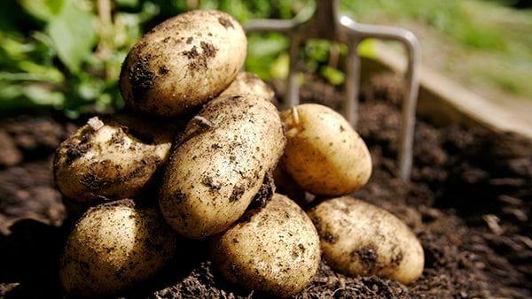 молодой картофель могут оставить на полях